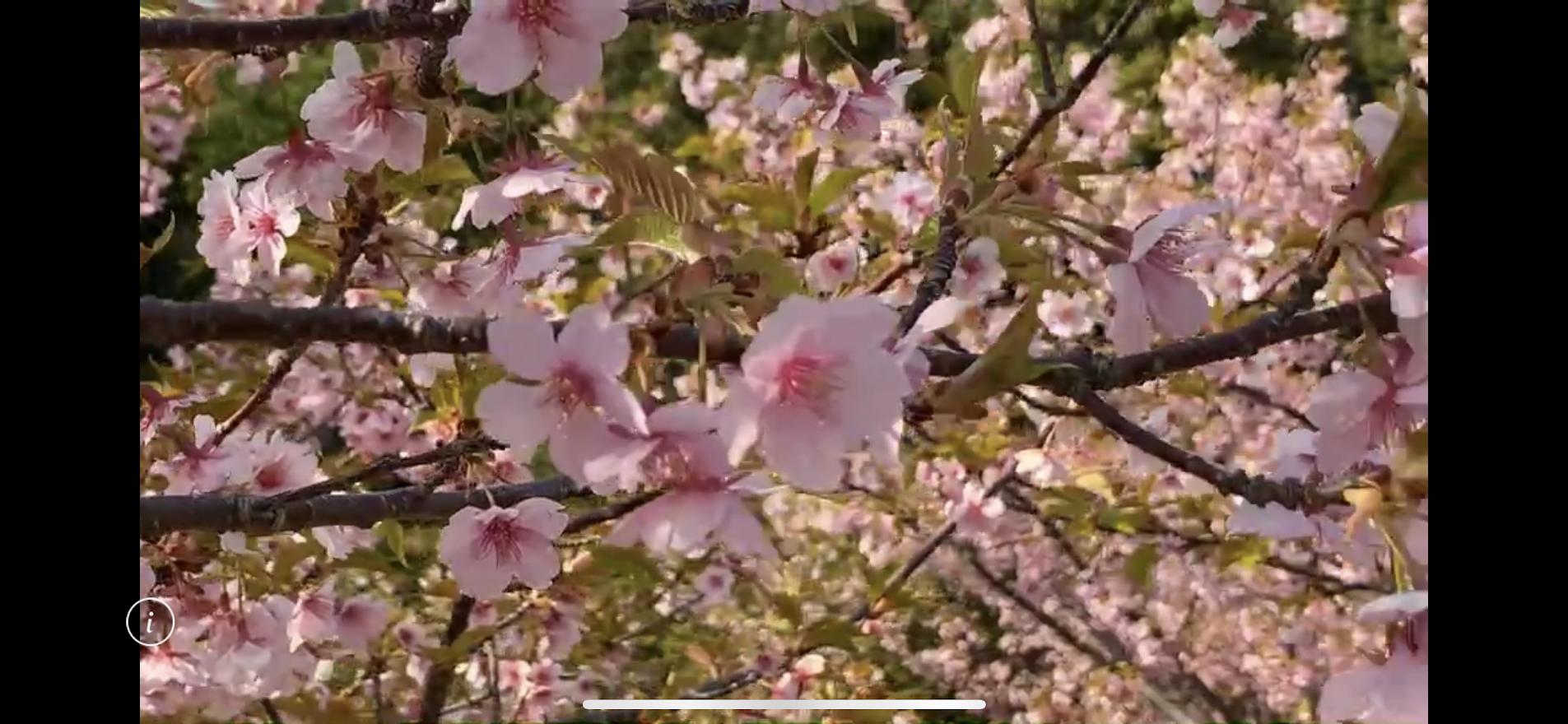河津桜接写の